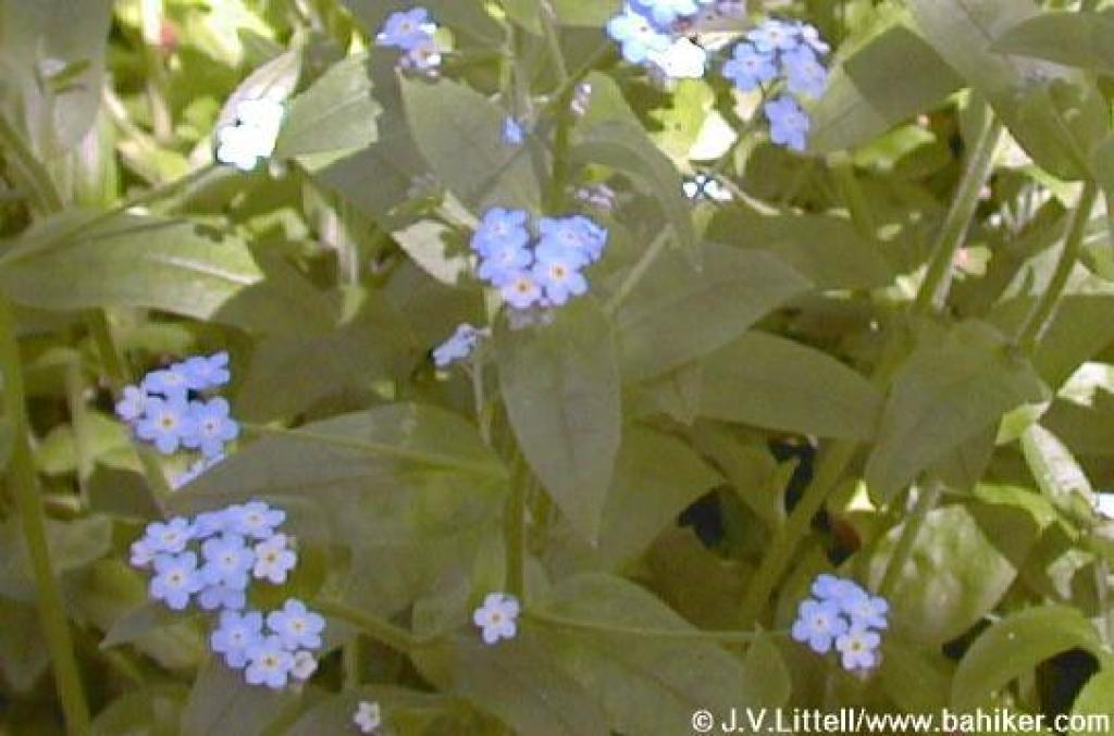 Forget-me-nots photo