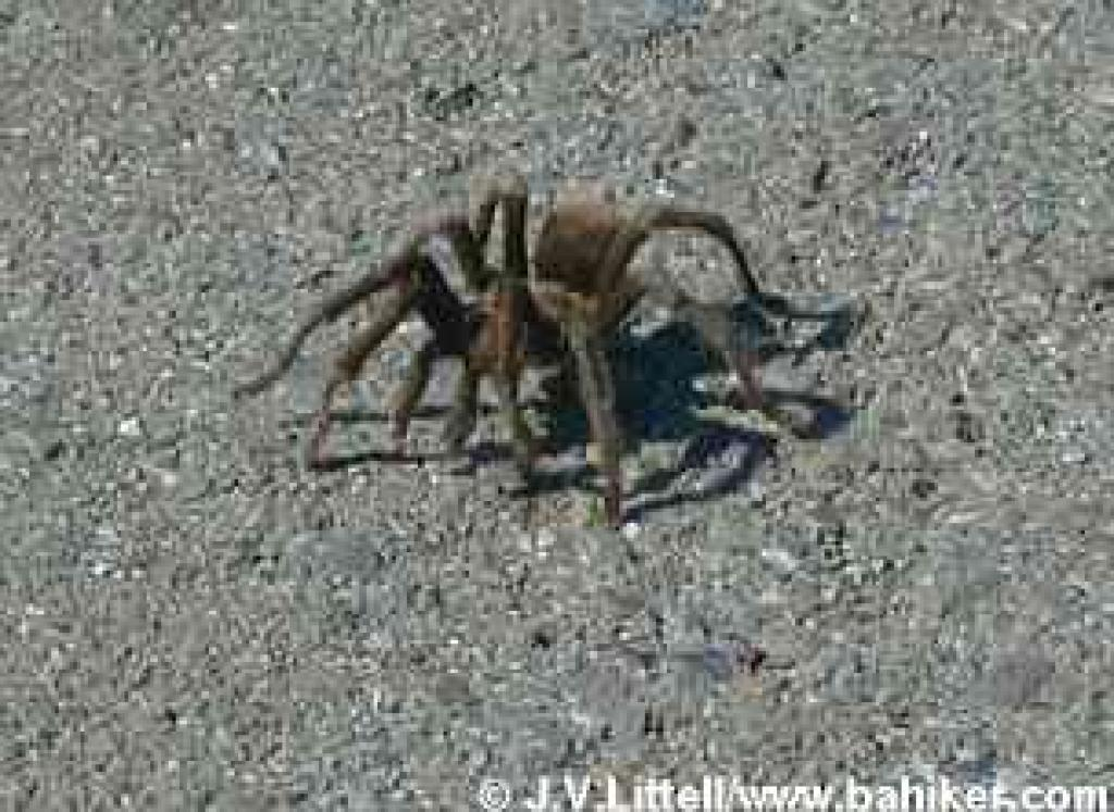 Tarantula on the road at Mount Diablo