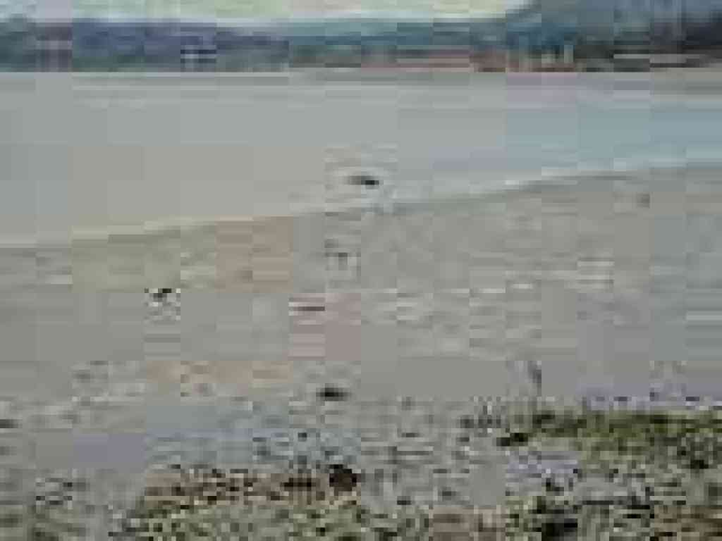 Birds in mudflats