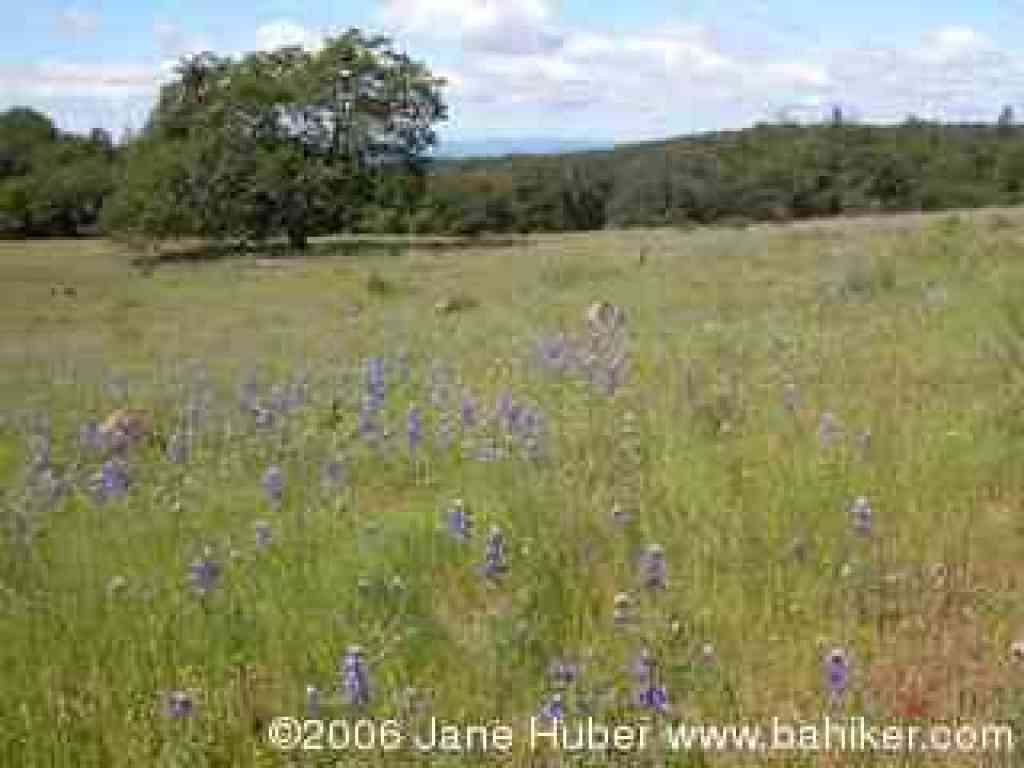 Oaks and lupines on North Burma Trail