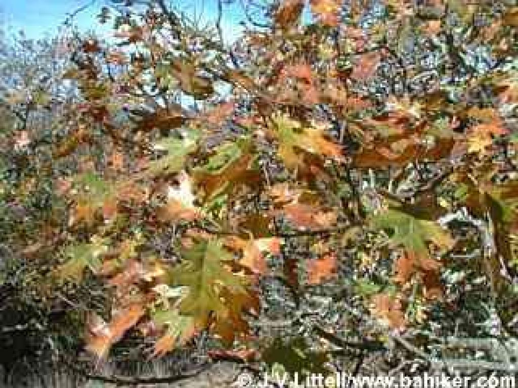 Black oak leaves in autumn