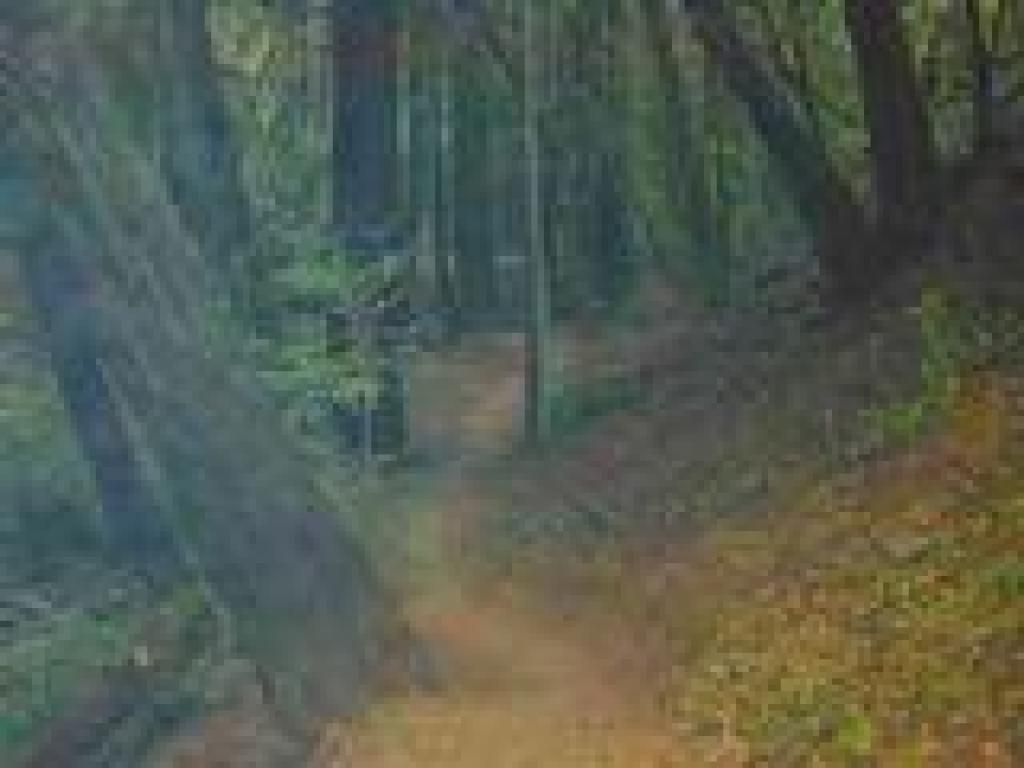 Trail winds through redwoods