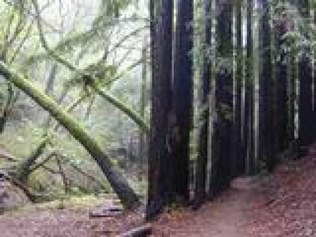 Redwoods and madrones