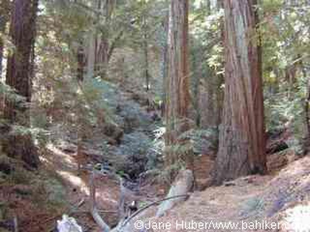 Redwoods at North Asbury Creek, on Sonoma Ridge Trail