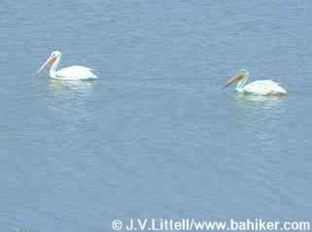 White pelicans photo