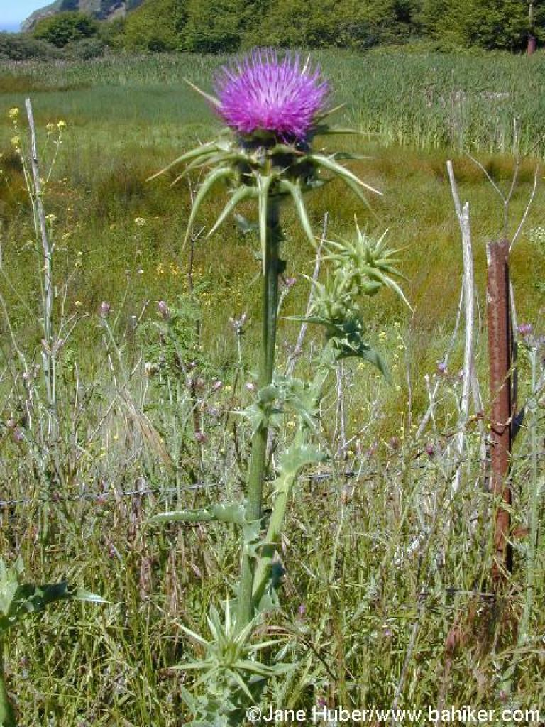 http://www.bahiker.com/pictures/northbay/muirbeach/053002/websize/008thistle.jpg