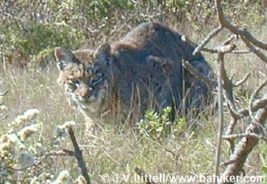 Bobcat on Mount Tam