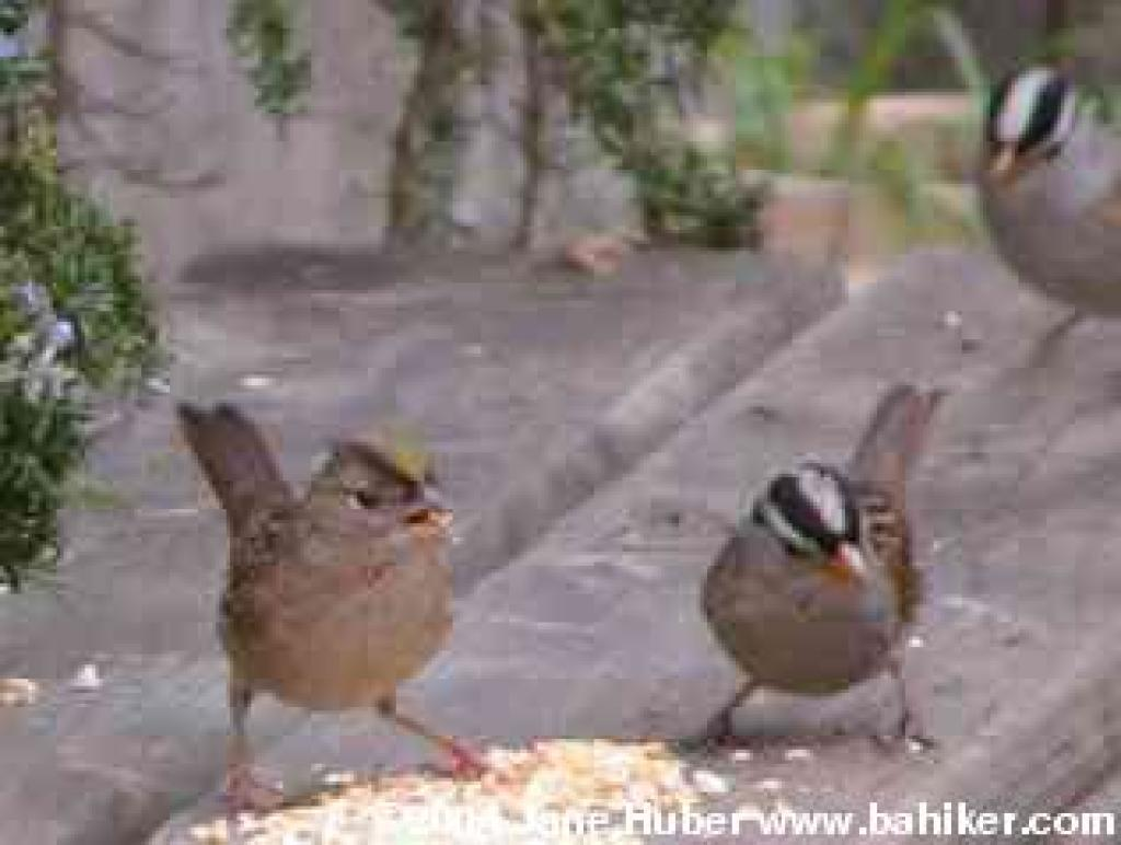golden crowed and white crowned sparrows