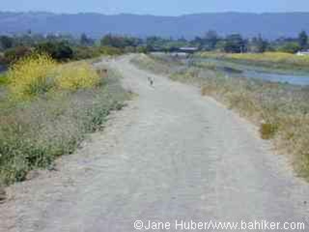 A jackrabbit on San Francisquito Creek Trail