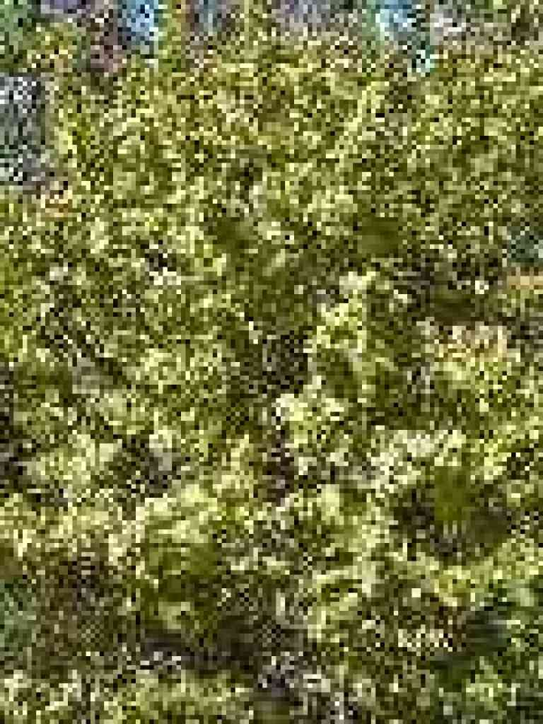 Coyote brush