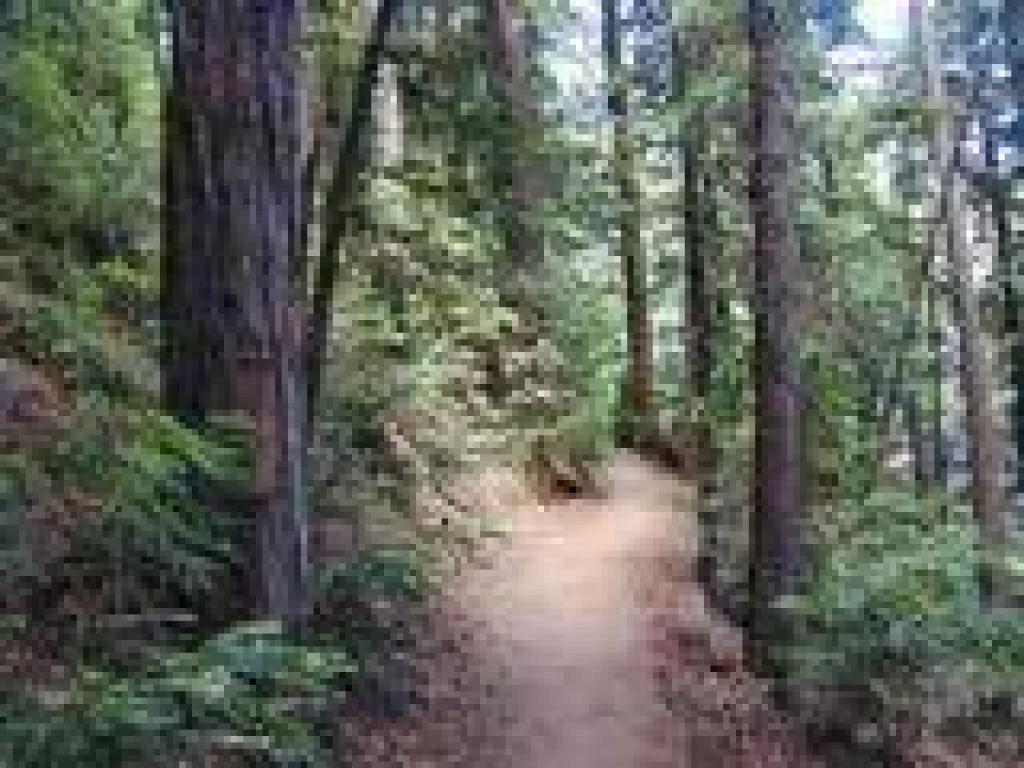 Winding through redwoods