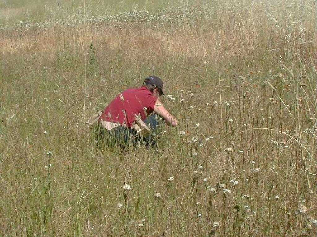 Photo from a wildflower seed collection project at Russian Ridge