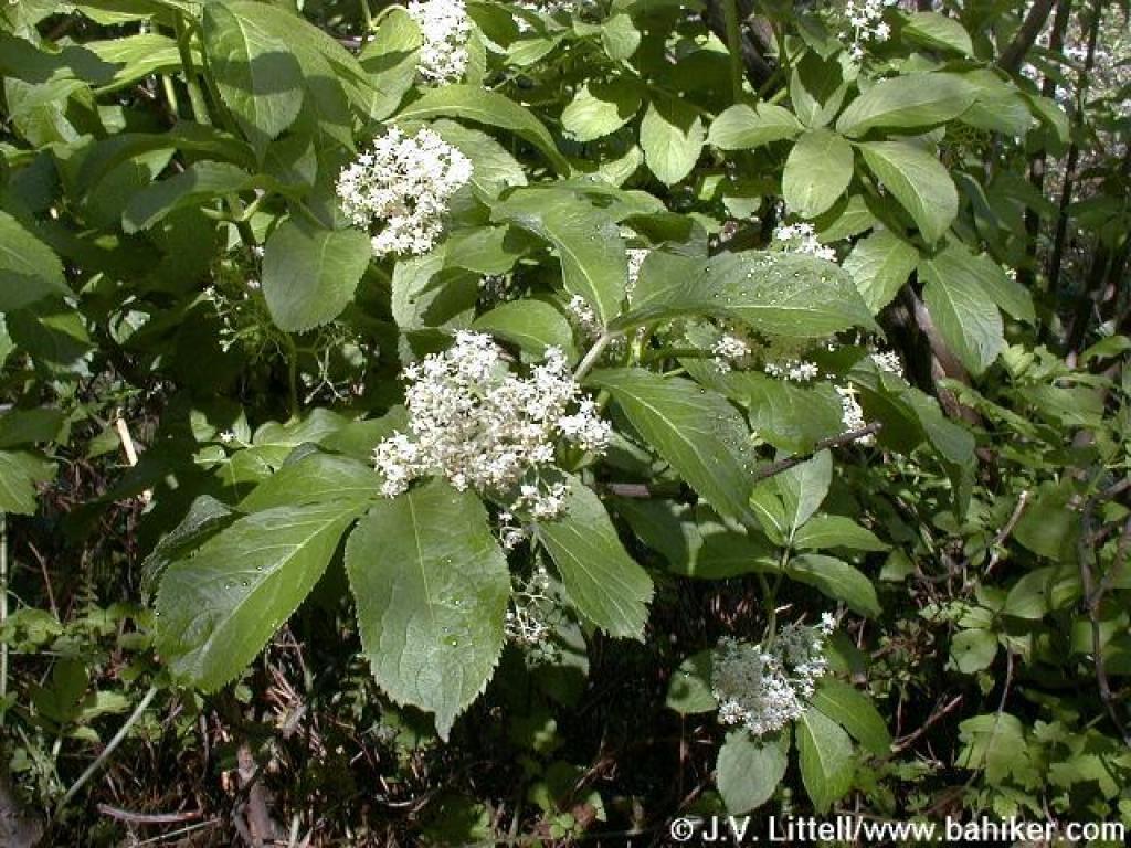 Trillium Flowering In Oak Grove >> Elderberry