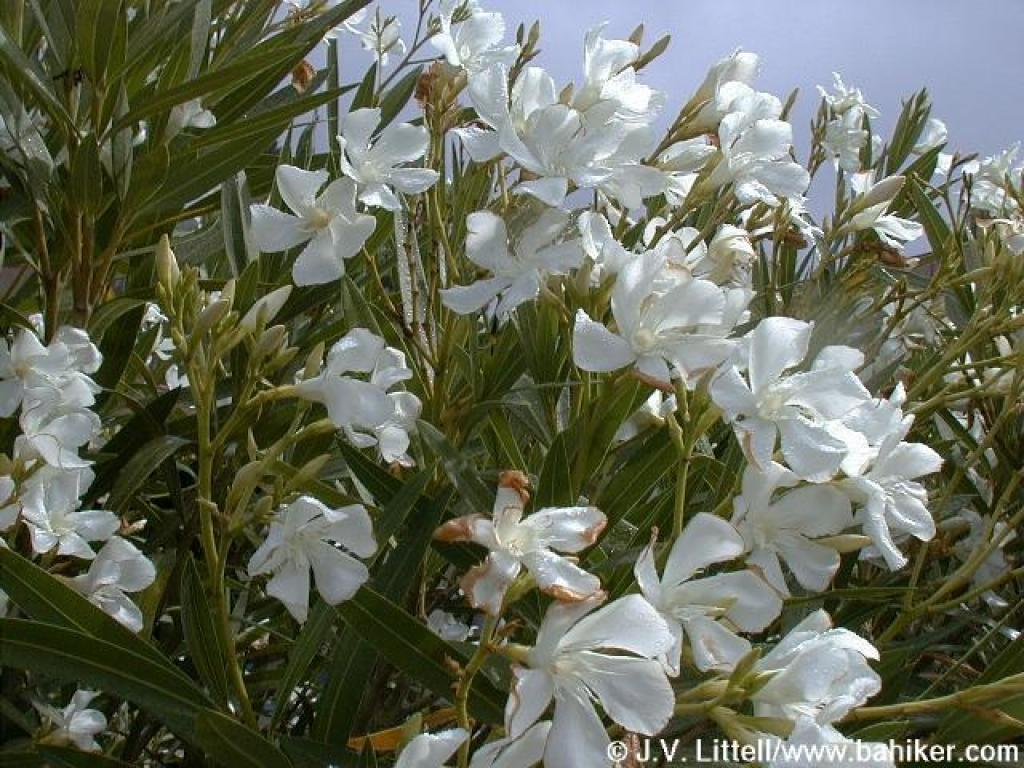 Oleander for Arbustos con flores para jardin